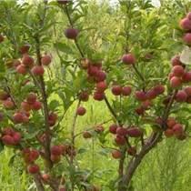 四川柚子苗價格,四川柚子苗出售,四川柚子苗批發