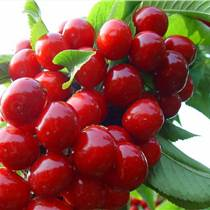 貴州櫻桃苗產量,貴州櫻桃苗供應,貴州櫻桃苗批發