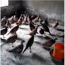 福州福建绿壳蛋鸡供应厂家直销