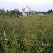 貴州柳樹苗基地,貴州柳樹苗品種,貴州柳樹苗特點