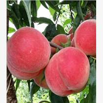 四川桃樹苗銷售,四川桃樹苗價格,四川桃樹苗種植