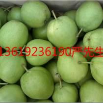 陜西酥梨紅香酥產地水晶梨價格
