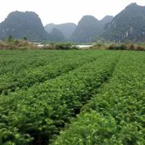 廣西杉樹苗批發供應價格速生杉樹苗種植技術圖片