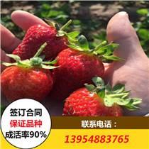 基地供應草莓苗 當年結果草莓苗價格