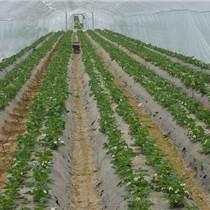 甜寶草莓苗價格 供應草莓苗