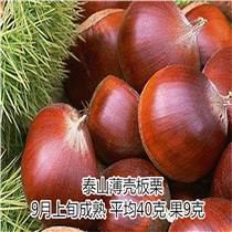 泰山薄壳板栗苗哪里有卖 泰东园艺场
