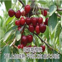 樱桃苗品种拉宾斯樱桃苗价格