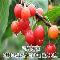 矮化樱桃苗萨米脱樱桃苗价格