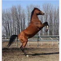 夏津县养马场哪里有卖赛马多少钱一匹骑乘马品种养马喂马