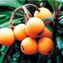 四川枇杷苗基地,四川枇杷苗特点,四川枇杷苗品种