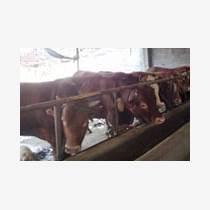 山西肉牛销售厂家直销