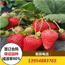 法蘭地草莓苗價格 法蘭地草莓苗批發