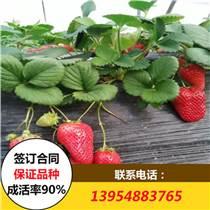 法蘭地草莓苗批發價格 法蘭地草莓苗多少錢