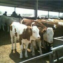 肉牛养殖自繁自养厂家直销