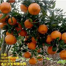 重庆柑橘树苗基地,重庆柑橘树苗种植,重庆柑橘树苗特点