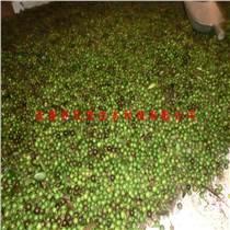 供應竹柏種子及竹柏苗,四季常綠