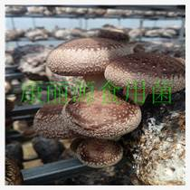 山東青島出口韓國花菇菌棒批發專業快速