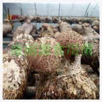 山東青島花菇菌棒出口花菇菌棒、香菇菌棒廠家直銷