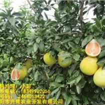 貴州柚子苗價格,貴州柚子苗供應,貴州柚子苗廠家