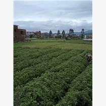 廣西融水良種杉樹產區供應20-30公分速生杉樹苗200萬株
