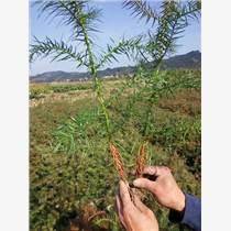 廣西杉木苗種植速生杉木苗基地廠家杉木苗批發價格