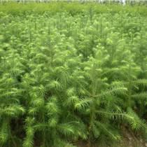 廣西融水杉樹林區供應自產40-50速生杉樹苗100萬株