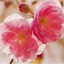 10公分樱花价格