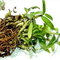 仙斛蘭韻霍山鐵皮石斛種苗