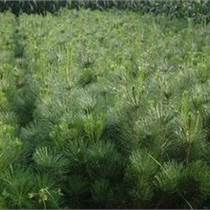 供應油松樹苗、山西油松基地