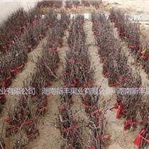 適合南方種植的棗樹苗 中秋酥脆棗