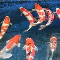 锦鲤鱼苗|常州锦鲤|金庄锦鲤鱼(查看)