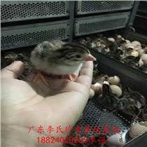 廣東李氏珍禽廠家直銷珍珠雞苗