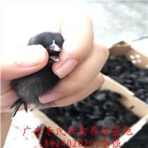 广东李氏珍禽厂家直供绿壳蛋鸡苗
