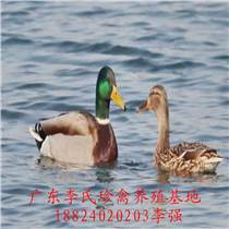 廣東李氏珍禽廠家直供綠頭野鴨苗
