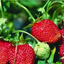 泰安苗圃草莓苗批发 优质章姬草莓苗 规格齐全 果大可口 价格实惠