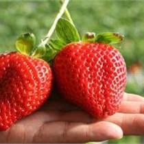 苗圃直销优质高产草莓苗 红颜、章姬、法兰地 品种齐全价格优惠