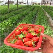 脱毒草莓苗品种 红颜草莓苗厂家 章姬草莓苗价格 量大从优易成活