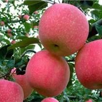 紅星蘋果價格山東蘋果大量上市