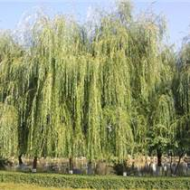 上海垂柳种植基地供应青皮垂柳、黄金垂柳,好品质