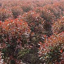 上海紅葉石楠球苗圃直銷價格,規格全,品質優良