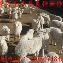 小尾寒羊合作社