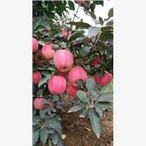 山東供應紅星/紅將軍蘋果,蘋果批發價格