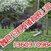 野豬養殖,野豬養殖廠,飛陽野豬養殖