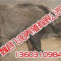 野豬養殖技術,野豬養殖技術一流,飛陽野豬養殖