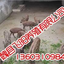 獾子養殖,獾子養殖廠家,飛陽野豬養殖
