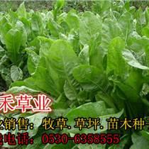 养猪适合种什么牧草哪里卖菊苣种子价格