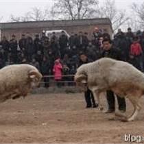 济宁山东哪里有斗羊供应量大从优