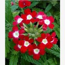 宿根花卉价格|宿根花卉|君诚花卉苗木(图)
