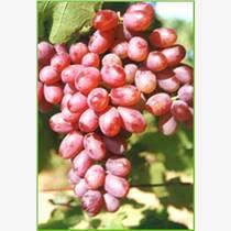 葡萄種苗、愛博欣、求購葡萄種苗