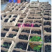 佛山廠家:喜迎珍禽供應東莞市優質便宜成活率高的綠殼蛋雞苗